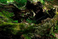 倒木のオリジナルプリント