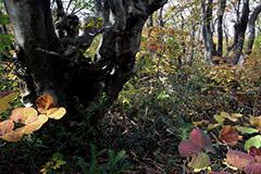 ブナ林のオリジナルプリント