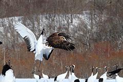 飛翔するオジロワシ