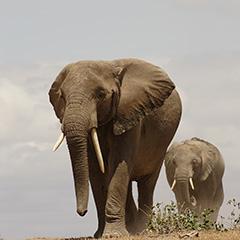 アフリカゾウのフォト作品