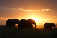 アフリカゾウのオリジナルプリント