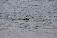 泳ぐヒグマ