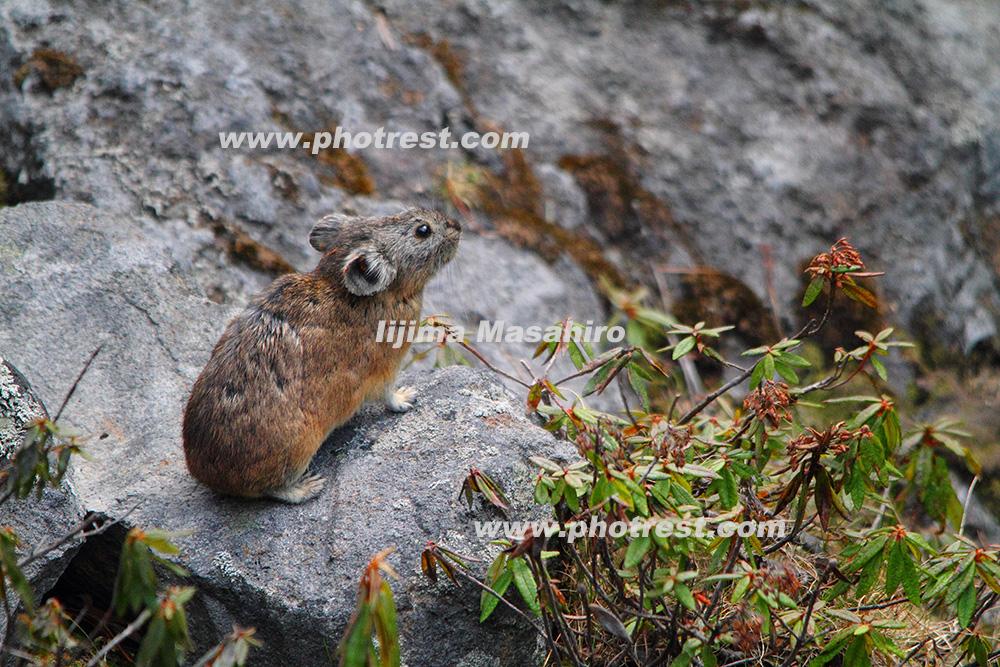エゾナキウサギの写真素材
