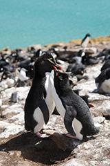 イワトビペンギンのオリジナルプリント
