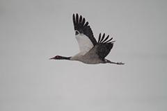 飛翔するオグロヅル