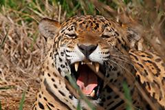 ジャガーのオリジナルプリント