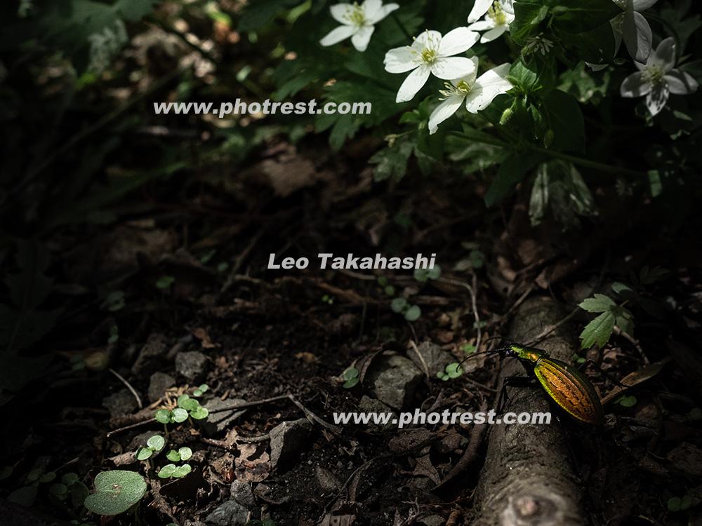 オオルリオサムシの写真素材