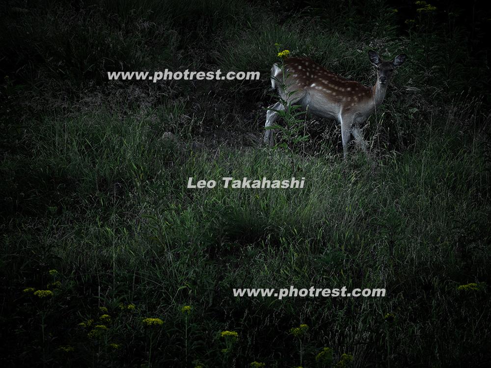 エゾシカの写真素材