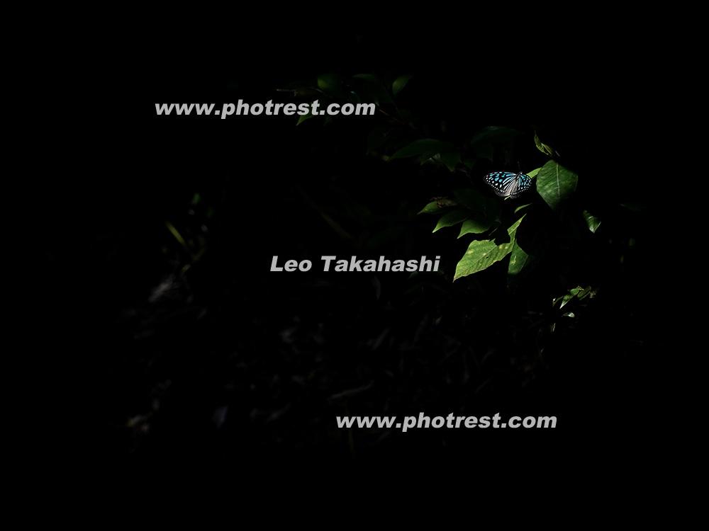 リュウキュウアサギマダラの写真素材