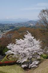 後閑城址公園の桜