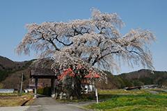 沼田の枝垂れ桜
