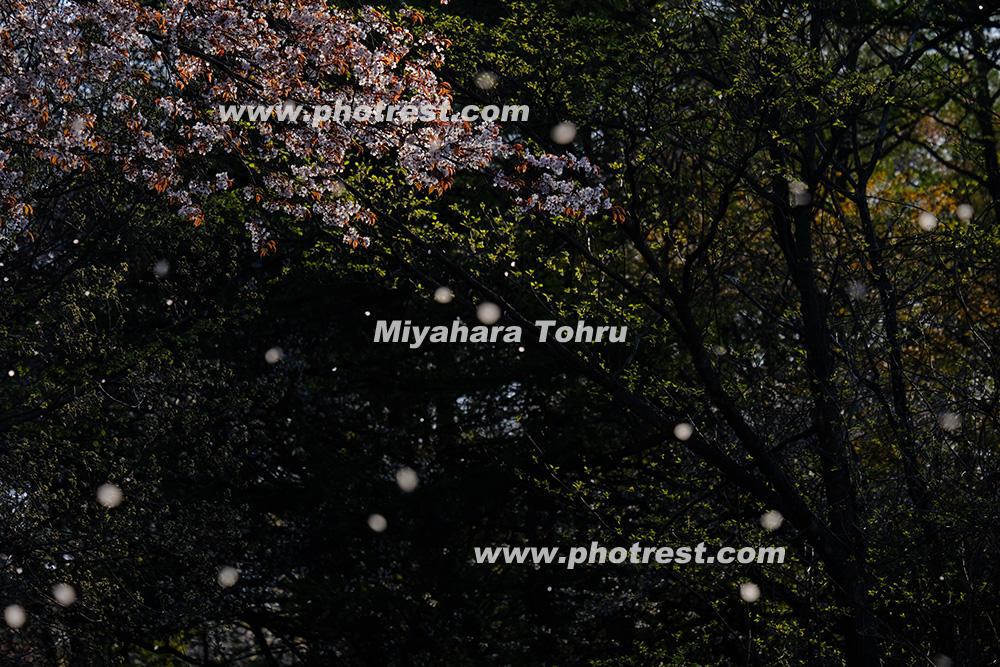 山桜の写真素材
