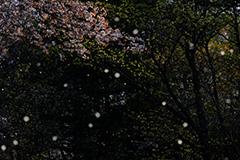 山桜のオリジナルプリント