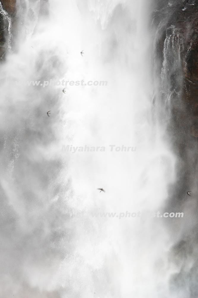 アマツバメの写真素材