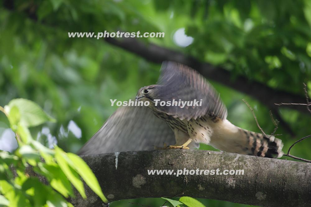 チョウゲンボウの写真素材