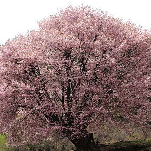 桜景色のフォトブック