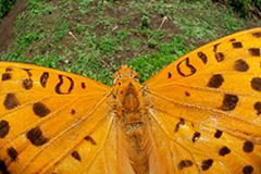 虫の目レンズによるツマグロヒョウモン