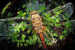 虫の目レンズによるマユタテアカネ