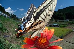 虫の目レンズによるキアゲハ