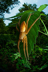 虫の目レンズによるイオウイロハシリグモ