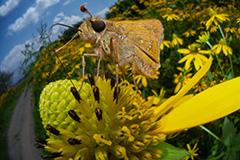 虫の目レンズによるイチモンジセセリ