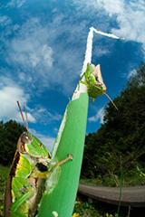 虫の目レンズによるコバネイナゴ