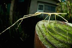 虫の目レンズによるナナフシモドキ