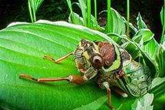 虫の目レンズによるアブラゼミ