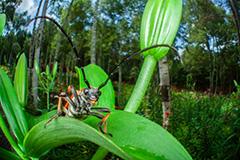 虫の目レンズによるアカハナカミキリ