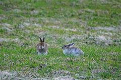 エゾユキウサギのペア
