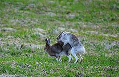 交尾をするエゾユキウサギ