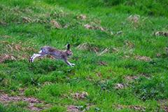 走るエゾユキウサギ