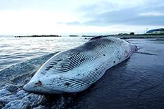 ミンククジラの死体