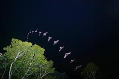 飛翔するコウモリの飛翔