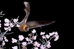 飛翔するオリイオオコウモリ