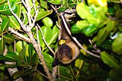 食事をするダイトウオオコウモリ