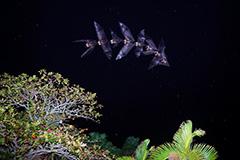 飛翔するダイトウオオコウモリ