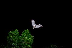 飛翔するヤエヤマオオコウモリ