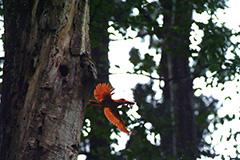 飛翔するアカショウビン