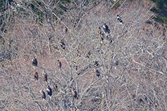 オオワシの群れ