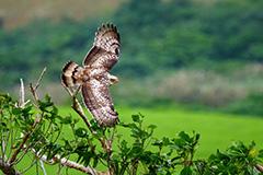 飛翔するカンムリワシ