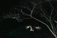 飛翔するシマフクロウ