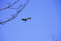 飛翔するエゾリス