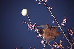 食事をするオリイオオコウモリ