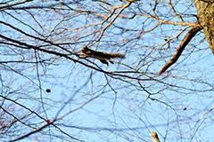 飛翔するニホンリス