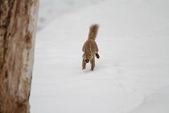 走るニホンリス
