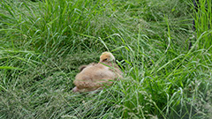 タンチョウの雛