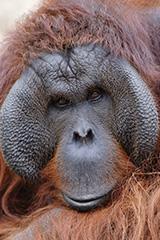 ボルネオオランウータンの雄