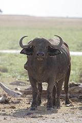 アフリカスイギュウ