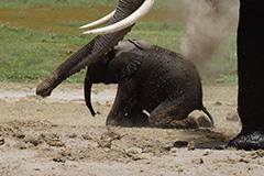 アフリカゾウの子供
